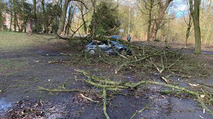 Storm raast over Limburg: eekhoorn-baby'tjes vliegen nest uit en wagen helemaal bedolven onder takken