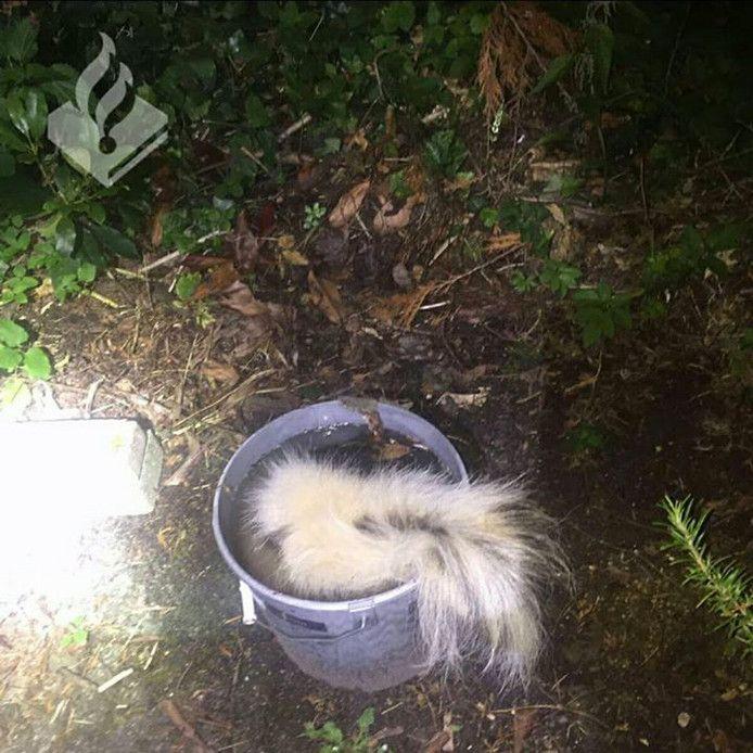 Het dode stinkdier werd in een emmer gestopt. Het dier zorgde voor een ondragelijke stank.
