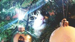 Herkenbaar! Zo hou je je kat uit de kerstboom