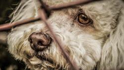 """17 honden in beslag genomen in appartement in Oostende: """"De dieren kwamen amper buiten"""""""