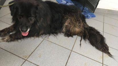 Dierenbescherming redt hond die op 30 centimeter uitwerpselen leefde