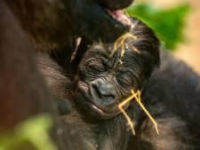 Dierentuinfans beslissen in poll: gorillababy heet Vizazi