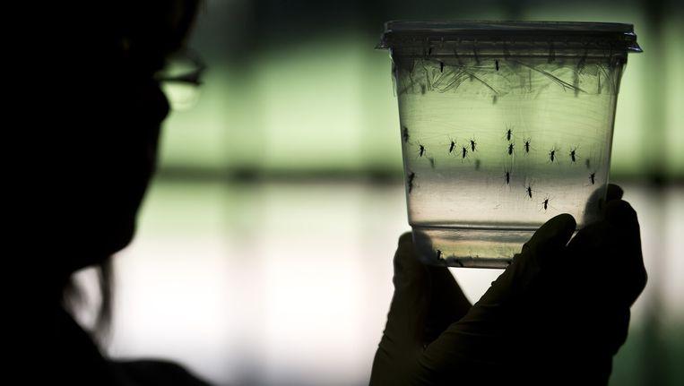 Een onderzoeker in het Braziliaanse Sao Paulo onderzoekt muggen die mogelijk het zika-virus hebben. Beeld Afp