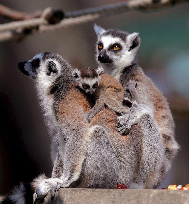 Maki's in Madagaskar. Beeld ANP