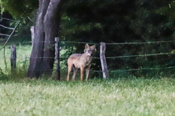De wolf in Duffel is een Duits dier.