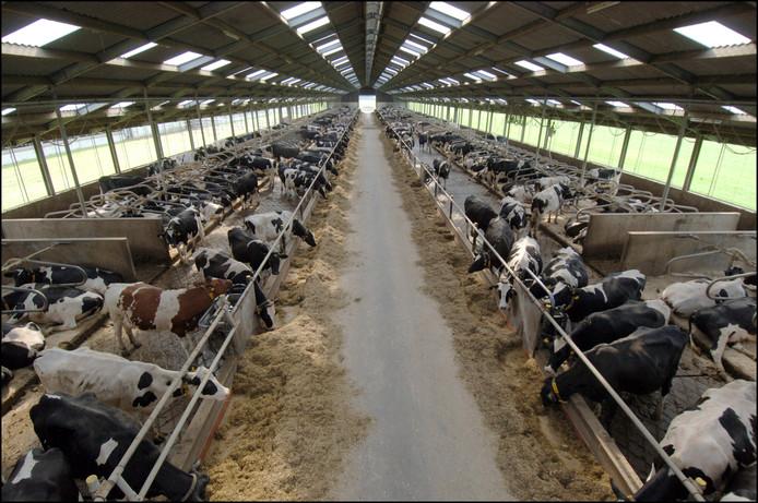 Een stal met koeien. Zijn er meer dan 250 dan wordt het een 'megastal' genoemd.