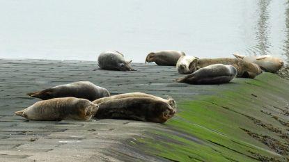 """Tien zeehonden rusten samen op slipway: """"Ongezien"""""""