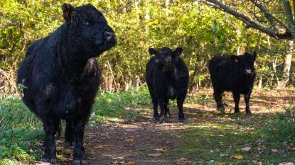 Galloway-runderen komen opnieuw naar Fort III (en ze brengen kalfje Olivia mee)