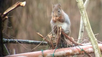 Grote Vogelweekend van Natuurpunt: eekhoorns stelen de show