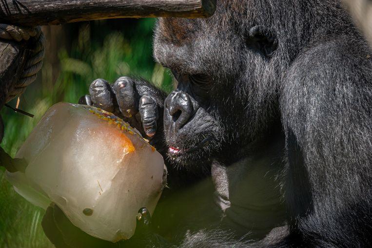 Matadi wil ook wel eens een fruitig ijsje.