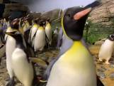 Pinguïns gaan 'los' in verlaten Blijdorp