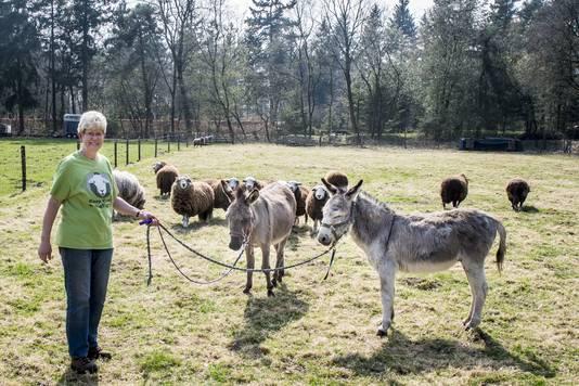 Ezels moeten bloeddorstige wolven wegjagen bij schapen in Eibergen