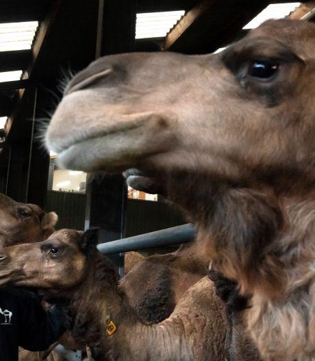 Altijd al kamelenmelker willen worden? Dan moet je niet bang zijn
