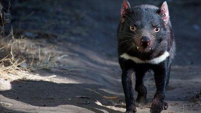 Melk van Tasmaanse duivel biedt hoop in strijd tegen superresistente bacteriën