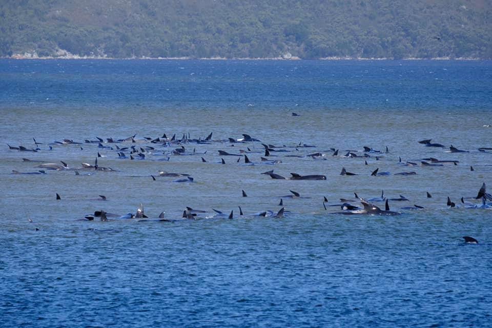 De gestrande walvissen bij Macquarie Heads, Tasmanië.