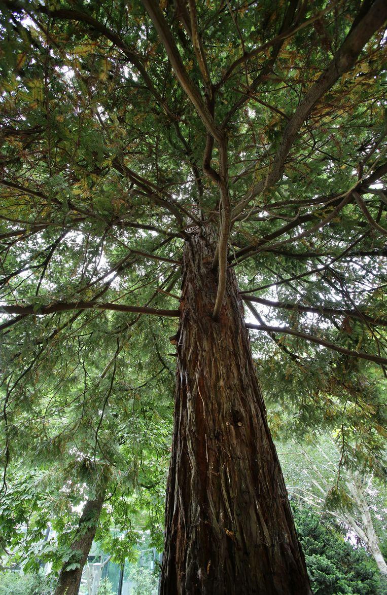 De kustmammoetboom, de hoogste boom ter wereld. Beeld ARTIS, Ronald van Weeren
