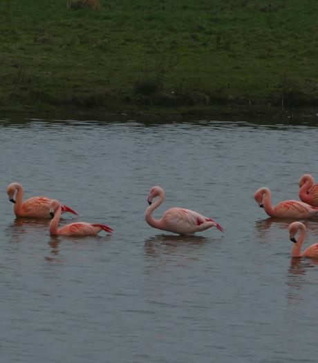 Het moet niet gekker worden: flamingo's in het Bentwoud en Zevenhuizen
