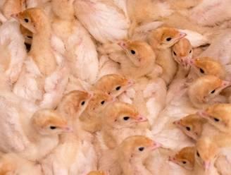 Duitsland verbiedt als eerste land massaslachting van kuikens
