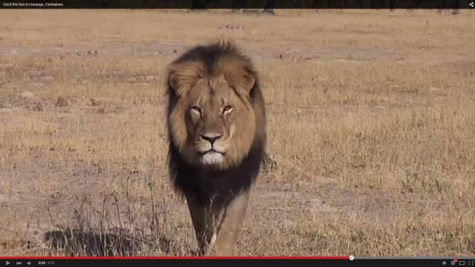 'Trofeejagers' doden de populairste leeuw van Zimbabwe