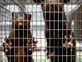 Twintigste nertsenbedrijf met corona vastgesteld, 12.000 dieren in Gemert geruimd