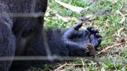 VIDEO. Gorilla maakt onwaarschijnlijk vriendje… ter grootte van zijn vinger