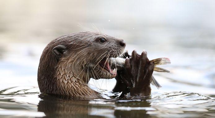 Een otter eet een visje.