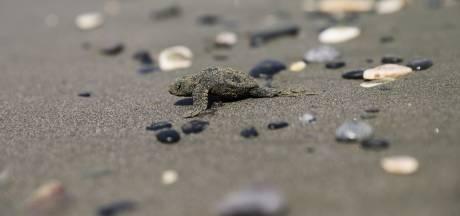 Des dizaines de tortues naissent sur une plage de Fréjus