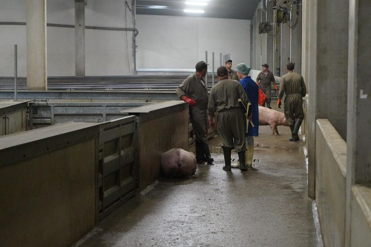Een van de varkens blijkt na het transport gewond te zijn. In plaats van met een schietpen wordt het dier gedood met een elektronarcosepen in twee korte stoten, een op het hoofd en een op het hart.