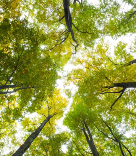 Bomenbelang Bronckhorst wil kap van bomen in centrum Vorden voorkomen