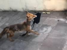 """Un renard vole un sac en plein jour à Bruxelles: """"Quel chenapan!"""""""