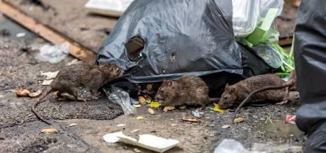 Bewoners Sluiswijk: 'rattenaantal afgelopen jaren geëxplodeerd'