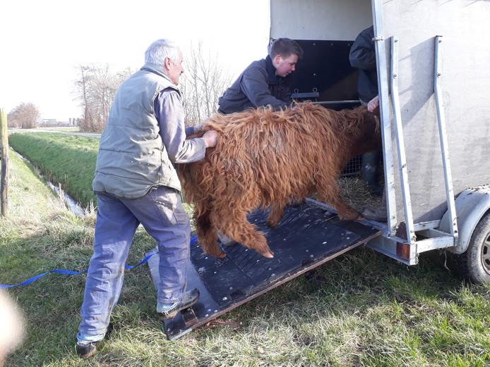 Schotse hooglanders gevangen.