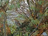 Een knap uiltje in de boomgaard