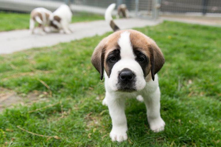 Jonge Sint Bernard-puppy. Beeld EPA