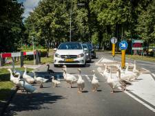 Overlastganzen Elburg gevangen en afgevoerd naar 'paradijs' in Drenthe