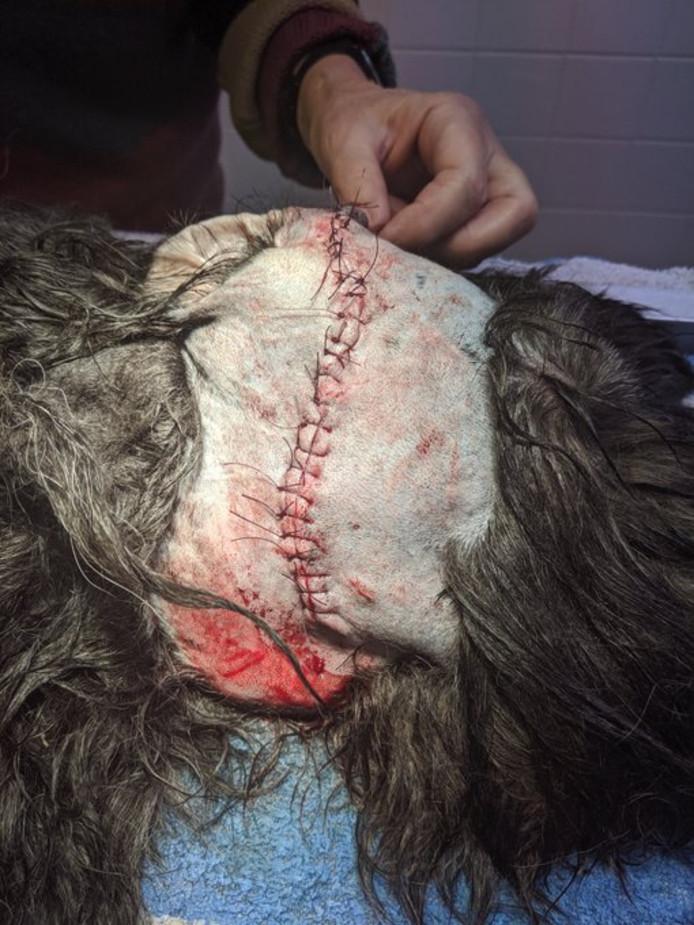 De hond van Eric Hennekam had 25 hechtingen nodig na het bijtincident in Zutphen.