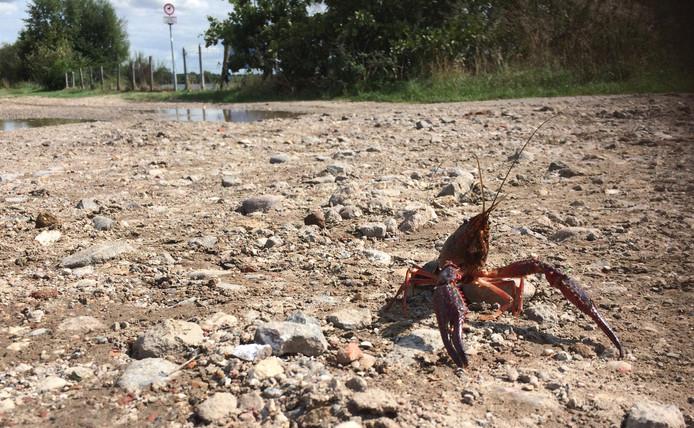 Amerikaanse rode rivierkreeft aan de wandel.