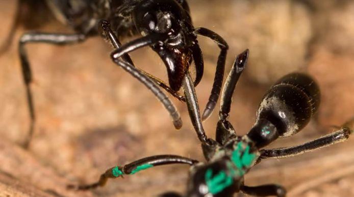 Een gewonde mier wordt verzorgd door een soortgenoot