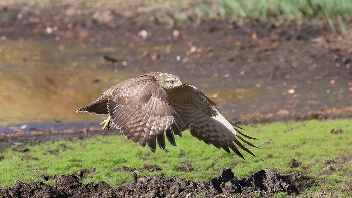 Dit is niet de buizerd uit Doetinchem. Foto ter illustratie.