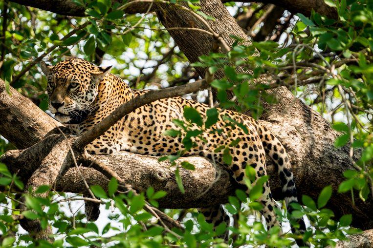 Een jaguar in het struweel. Beeld Noel van Bemmel