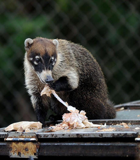 Zoektocht in Noord naar ontsnapte neusbeer
