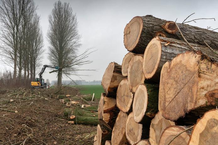 De Brakelsestraat bij Delwijnen is bezaaid met het hout van de populieren die hier ruim dertig jaar mochten groeien.