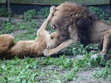 Verzorgers rouwen om dode leeuw Burgers' Zoo: 'Welbewust doden is nieuw voor ons'