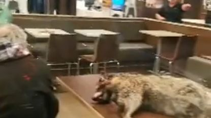 VIDEO. Man stapt McDonald's binnen met dode wasbeer (en legt hem nog op tafel ook)