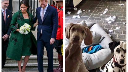 SHOWBITS. Meghan Markle kiest voor een outfit van meer dan 9.300 euro en de honden van Christoff maken het te bont