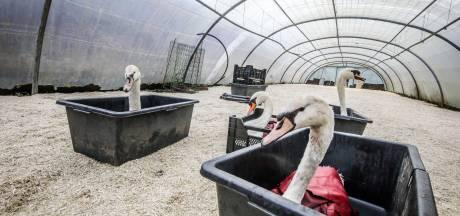 Hongerige Brugse zwanen laten zich met veel moeite vangen