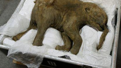 """""""Prehistorische jagers vonden vooral baby-mammoeten lekker"""""""