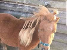Pony Rico is weg, stalhoudster slaapt niet meer: 'Er zijn mannen met zwarte capuchons gezien'