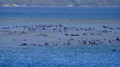 Al zeker 90 walvissen gestorven na massastranding in Tasmanië