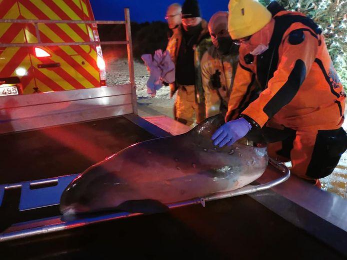 De brandweer brengt het dier over van het strand naar de zeedijk, waarna het naar een opvangcentrum kan gevoerd worden.
